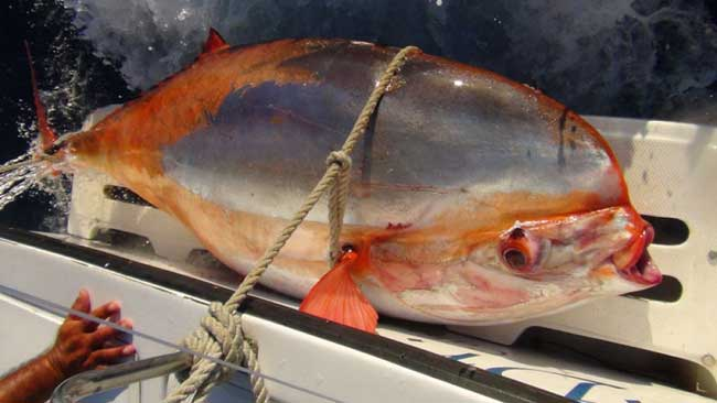 6061540842 likewise Ejercicios Artrosis Rodilla together with 928 in addition Cocktail Franks In Puff Pastry additionally Los Peces Mas Raros Del Mundo Info. on oscar fish info